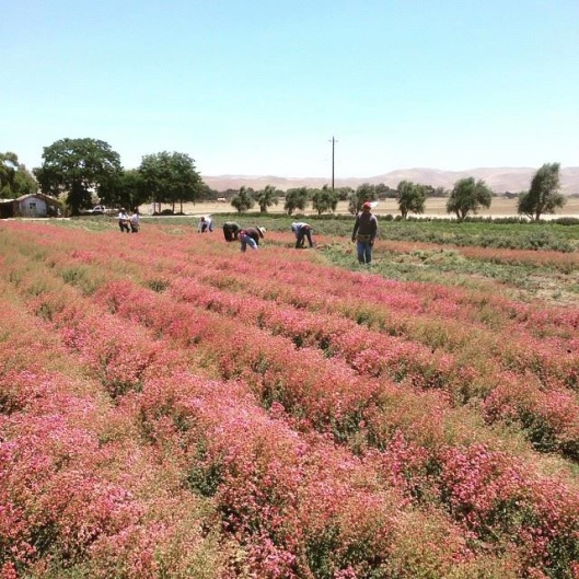 sc-oregano-harvest-blog-pic